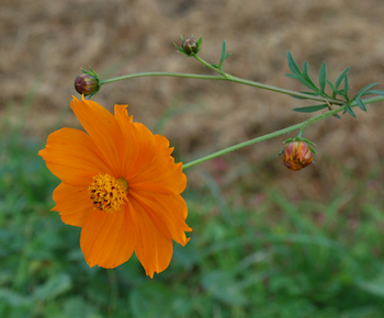 オレンジコスモス