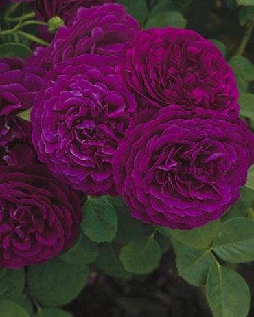 トワイライトゾーン花
