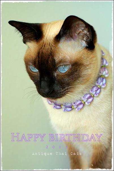 5歳の誕生日 วันเกิด birthday 2015 シャム猫 タイ 原種 Siamese cat Thailand แมว ไทย วิเชียรมาศ