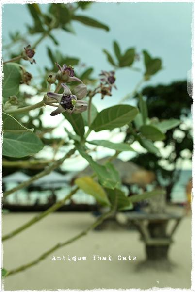 タイ Thai ไทย 花 flowers ดอกไม้ アコン Crown flower ดอกรัก ドークラック ラーン島 เกาะล้าน Koh laan Island ティエンビーチ หาดเทียน Tien beach