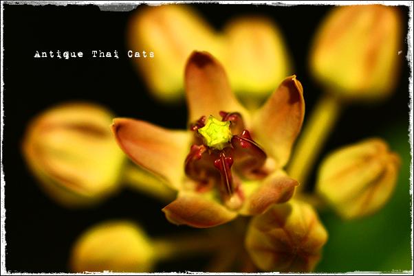花 flowers ดอกไม้ アコン Crown flower ดอกรัก ドークラック タイ Thai ไทย