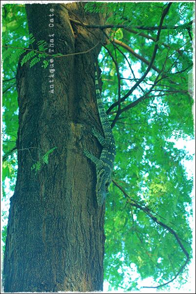 キモンオオトカゲ ตัวเงิน ตัวทอง เหี้ย 爬虫類 動物 タイ Thai ไทย ルンピニ公園 Lumpini park สวนลุมพินี