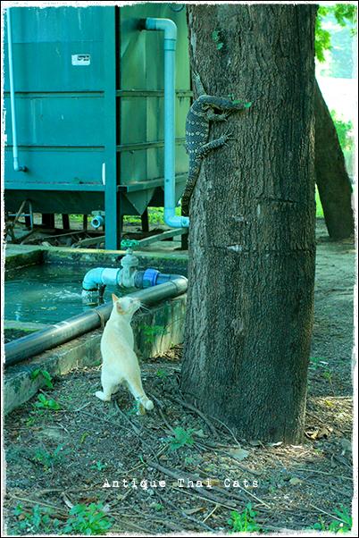 タイのヲソト猫152 猫 meets 大トカゲ キモンオオトカゲ ตัวเงิน ตัวทอง เหี้ย 爬虫類 動物 タイ Thai ไทย ルンピニ公園 Lumpini park สวนลุมพินี