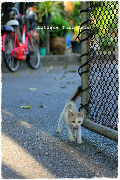 タイのヲソト猫154 新顔猫 ジアプ เจียบ 帽子 หมวก hat 鈴 กระดิ่ง bell 野良猫 Stray cats แมวจรจัด ヲソト猫 タイ Thai ไทย ルンピニ公園 Lumpini park สวนลุมพินี