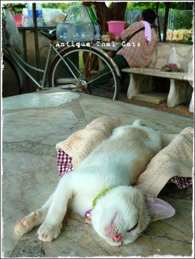 タイのヲソト猫158 ルンピニー公園の猫事情 ジアプ เจียบ 帽子 หมวก hat 鈴 กระดิ่ง bell 野良猫 Stray cats แมวจรจัด ヲソト猫 タイ Thai ไทย ルンピニ公園 Lumpini park สวนลุมพินี