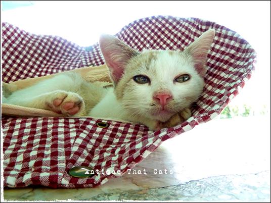 タイのヲソト猫159 帽子のベッド ジアプ เจียบ 帽子 หมวก hat 鈴 กระดิ่ง bell 野良猫 Stray cats แมวจรจัด ヲソト猫 タイ Thai ไทย ルンピニ公園 Lumpini park สวนลุมพินี