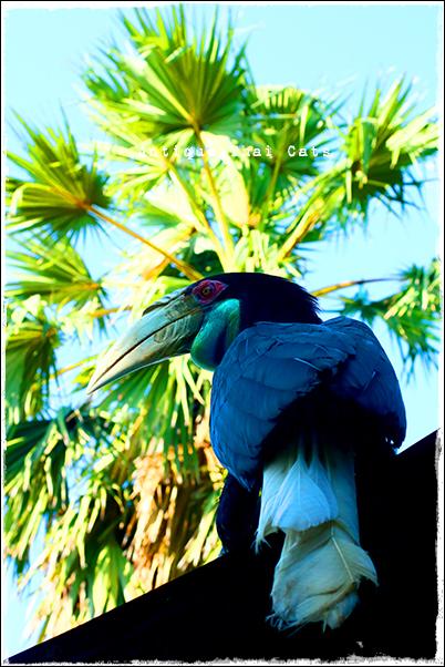 シワコブサイチョウ wreathed hornbill นกเงือกกรามช้าง 鳥 bird นก ラーン島 เกาะล้าน Koh laan Island ヌアンビーチ หาดนวล Nual beach