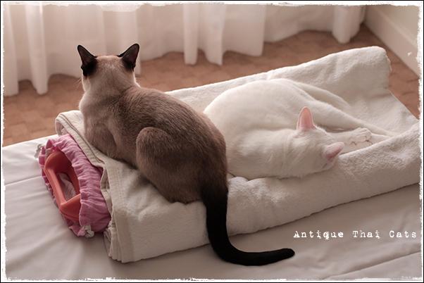 湯たんぽ猫 猫 カオマニー オッドアイ cat khaomanee oddeyes แมว ไทย ขาวมณี シャム タイ 原種 Siamese Thailand วิเชียรมาศ