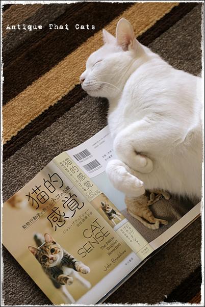 温玉 猫的感覚 猫 カオマニー オッドアイ cat khaomanee oddeyes แมว ไทย ขาวมณี アンティークタイキャット