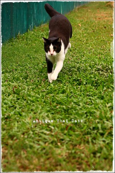 タイのヲソト猫163 ダッシュ 野良猫 Stray cats แมวจรจัด ヲソト猫 タイ Thai ไทย ルンピニ公園 Lumpini park สวนลุมพินี