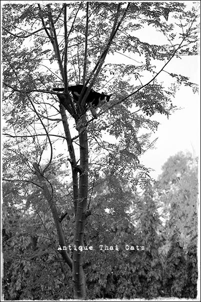 タイのヲソト猫164 木登り猫 野良猫 Stray cats แมวจรจัด ヲソト猫 タイ Thai ไทย ルンピニ公園 Lumpini park สวนลุมพินี