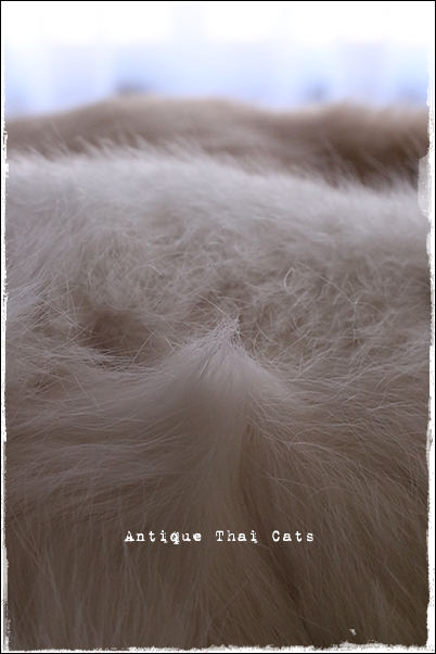温玉 とろ玉 クリーミーキャッツ 猫 カオマニー オッドアイ cat khaomanee oddeyes แมว ไทย ขาวมณี シャム タイ 原種 Siamese Thailand วิเชียรมาศ