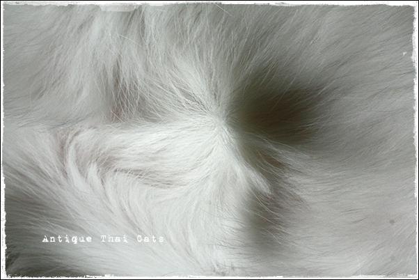 生クリームキャット 猫 タイ カオマニー オッドアイ 温玉 cat Thailand khaomanee oddeyes ontama แมว ไทย ขาวมณี ตา2สี