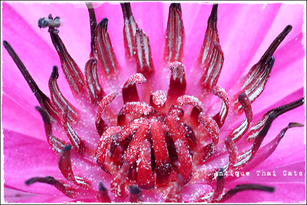 タイの花 睡蓮 ดอกบัว Water lily flowers ดอกไม้ タイ Thai ไทย ルンピニ公園 Lumpini park สวนลุมพินี アンティークタイキャット Antique Thai Cats โบราณ