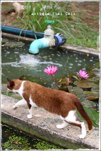 タイのヲソト猫166 猫と睡蓮 タイ ヲソト猫 野良猫 地域猫 stray alley mix cat Thailand แมว ไทย アンティークタイキャット
