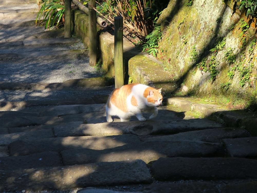 明月院の猫