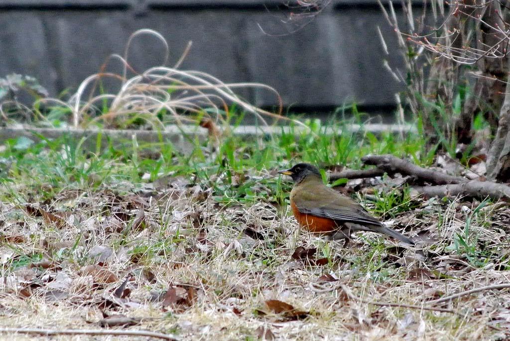 DSC_2437庭の鳥