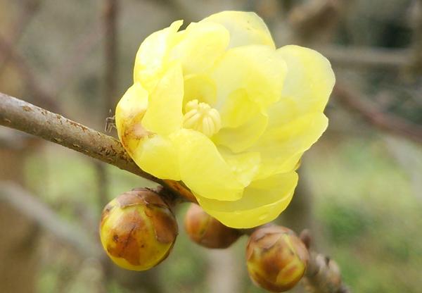 早咲き蝋梅16011