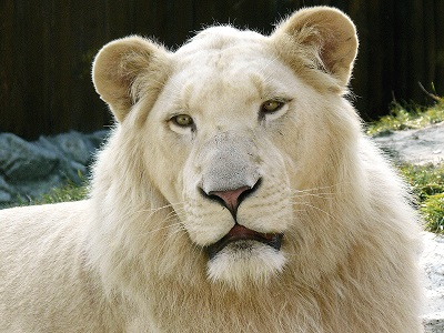 ライオンの白変種、ホワイトライオン