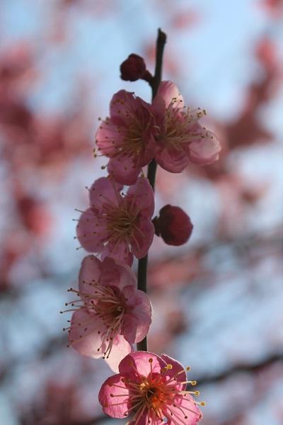2016.03.08 柳谷観音-7