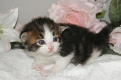宮城ペットショップ/自家繁殖メインクーンの子猫販売