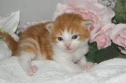 宮城ペットショップ/メインクーンの子猫ブリーダー直販