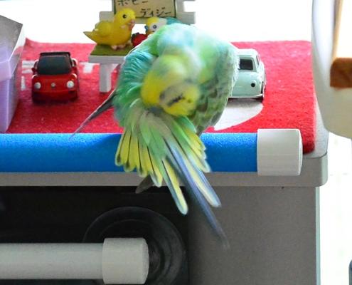 シャワーパーチで羽繕い2-2