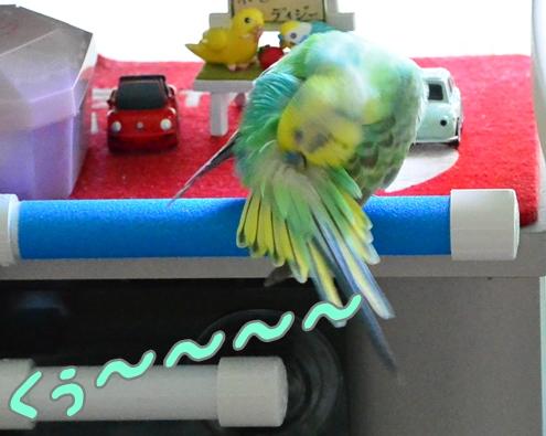 シャワーパーチで羽繕い3-3