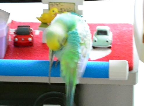 シャワーパーチで羽繕い1-1