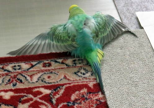 ディジーの両翼は綺麗だね