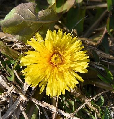 菜の花畑11