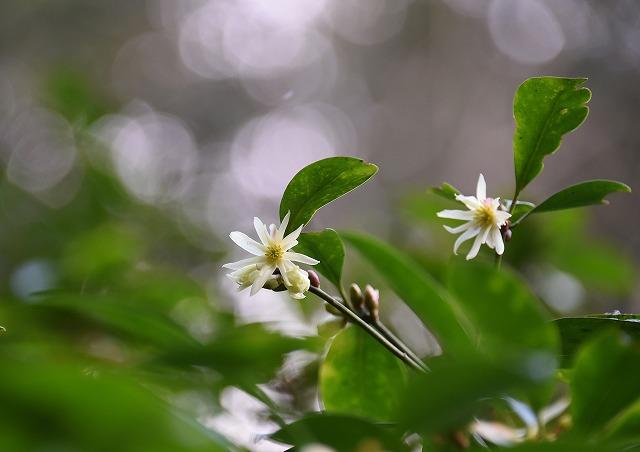宮島の花3