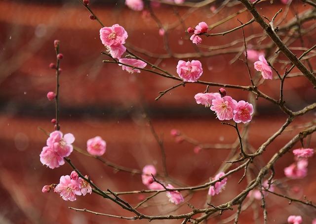 宮島の花8