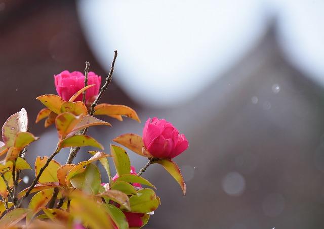 宮島の花7