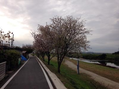 11月25日鳥羽 桜狂い咲き②