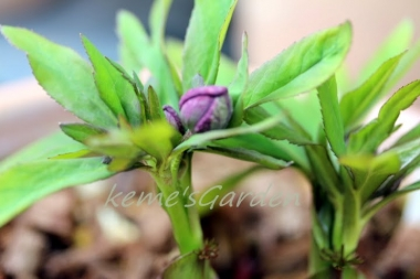 Helleborus croaticus