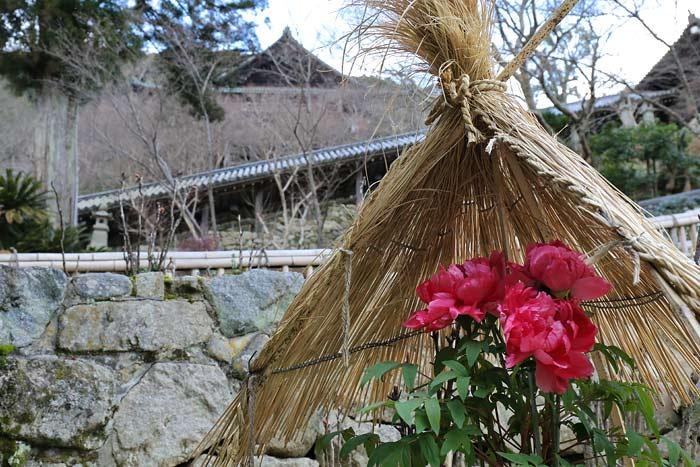 花便り 長谷寺 冬牡丹1