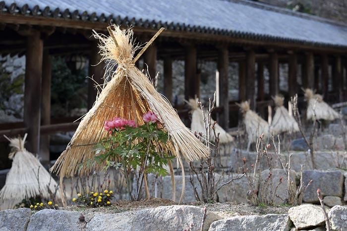 花便り 長谷寺 冬牡丹2