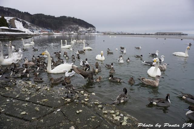 swan160214-0001.jpg