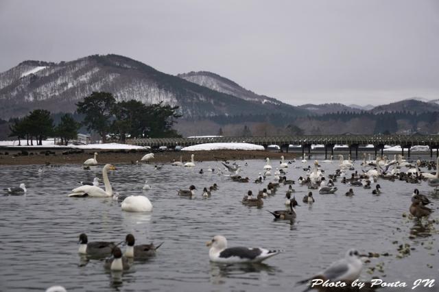 swan160214-0013.jpg