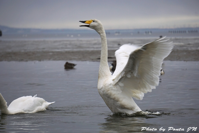 swan160214-0016.jpg