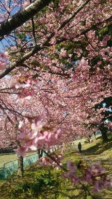 2016、2月美和桜