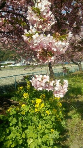 美和桜2月27日2016