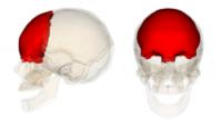 250px-Frontal_bone[1]