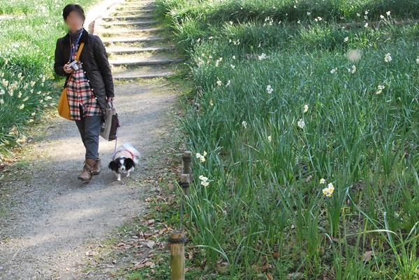 水仙郷をお散歩1