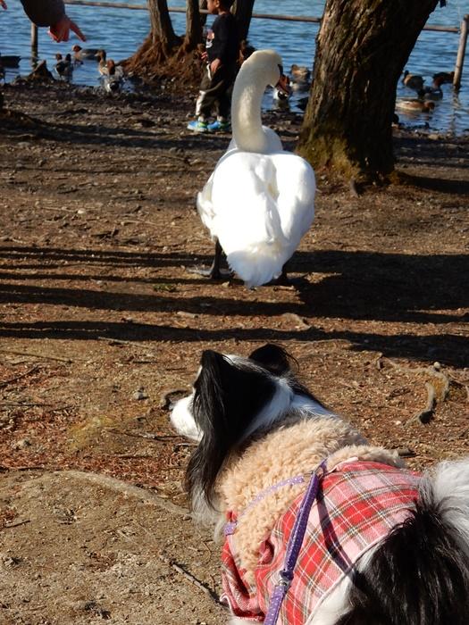 白鳥とルビー1