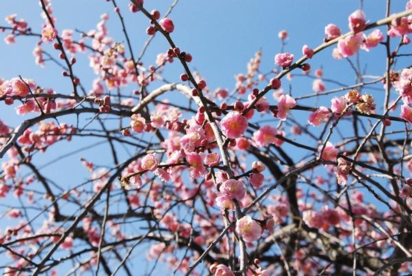 枝垂れ梅ピンク1