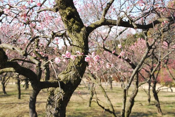 枝垂れ梅ピンク2