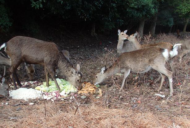 杉の浦神社~宮島シーサイドホテル周辺の鹿06