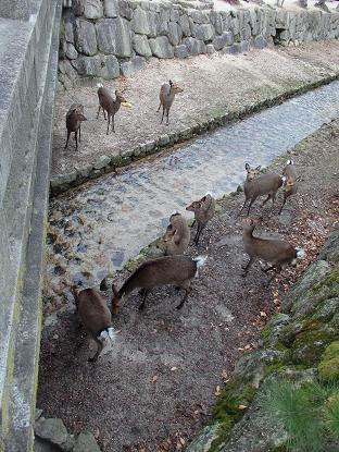 御綾橋の下の鹿1
